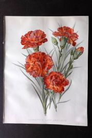 The Garden 1898 Antique Botanical Print. Carnation Lady Ardilaun